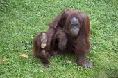 Orang utan mother with child — Stock Photo