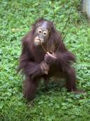 Orangutan with branch of bush — Stock Photo