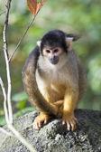 Squirrel monkey on stone — Stock Photo
