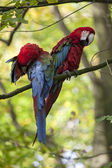 Beautiful colourful parrots — Stock fotografie