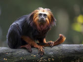 Lion Tamarin on wooden log — Stock Photo