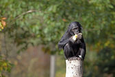 Black Bonobo eating — Stock Photo
