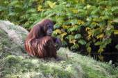 Female orangutan on grass — Stock Photo