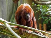 Red Howler Monkey — Stock Photo