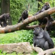 Group of Gorillas in forest — Foto de Stock   #62533455