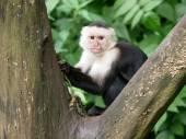 Capuchin monkey on tree — Stock Photo