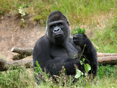 Silverback gorilla on grass — Stock Photo