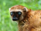 Female Blue Eyed Lemur — Stock Photo