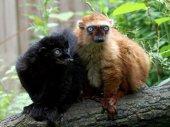 Blue Eyed Lemurs — Stock Photo