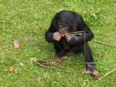 Bonobo youngster eating — Stock Photo