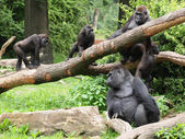 Group of Gorillas in forest — Stock Photo