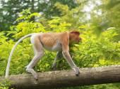 Snabel monkey gå på träd — Stockfoto