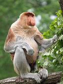Proboscis monkey sitting on tree — 图库照片