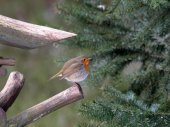 Robin bird near fur-tree — Foto Stock