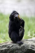 Baby crested macaque — Stockfoto
