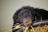 Close up of Chimpanzee with straw — Stock Photo