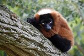 Close up of Red Lemur on tree — Stock Photo