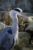 Young Blue Heron — Stock Photo