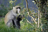 Cercopithecus lhoesti sitting on grass — Stock Photo
