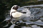 Close up of Pinguin in water — Foto de Stock