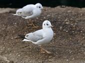Close up of white Gulls — Stock Photo