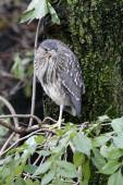Juvenile Black-crowned night heron — Stock Photo
