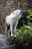 Howling White Wolf — Stock Photo