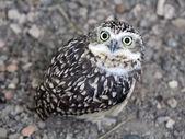 Desert owl — Stock Photo