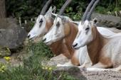 Three Oryx laying together — Stock Photo