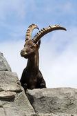 Alpine Ibex — Stock Photo