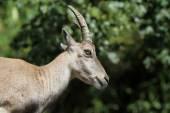 Female Alpine Ibex — Stock Photo