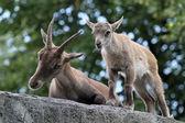 Alpine Ibex mother and child — Stock Photo