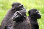 Group of crested macaque — Stock Photo