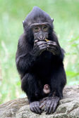 Young crested macaque eating — Stockfoto