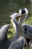 Blue heron mother feeding her child — Stock Photo
