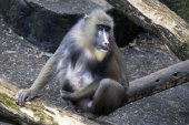 Mandrill mother with baby — Stock Photo