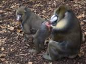 Mandrill mother and father with baby — Stock Photo