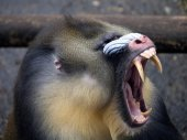 Mandrill showing his teeth — Stock Photo