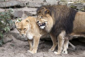 Lion and lioness near rocks — Stock Photo