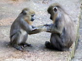 Mandrill youngsters playing — Stock Photo