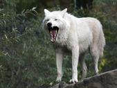 White hudson bay wolf — Stockfoto