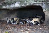 Sleeping wild dogs under rocks — Stock Photo