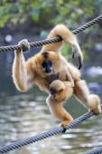 Gibbon mother with baby — Stok fotoğraf