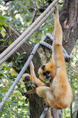 Gibbon mother with baby — Stock Photo