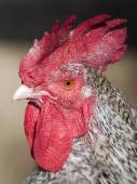 Close up of Rooster head — Stock Photo