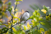 Sparrow sitting on branch of tree — Stock Photo