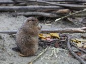 Prairie dog gnawing branch of tree — Stock Photo