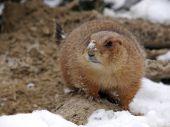 Prairie dog on sand and snow — Stock Photo