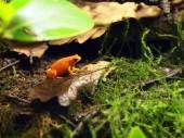 Golden frog on moss — Stock Photo