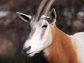 Close up of Oryx head — Stock Photo